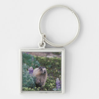 hoary marmot, Marmota caligata, feeding on silky Silver-Colored Square Key Ring