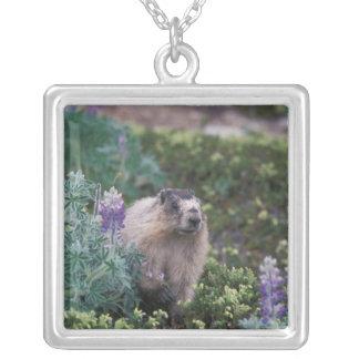 hoary marmot, Marmota caligata, feeding on silky Silver Plated Necklace