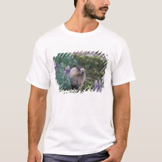 hoary marmot, Marmota caligata, feeding on silky T-Shirt