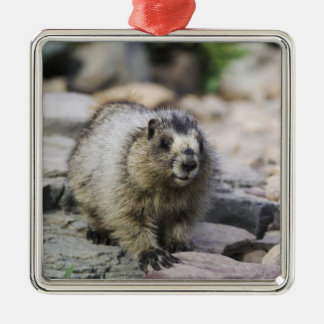 Hoary Marmot, Marmota caligata, young with Christmas Ornament