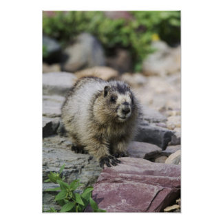 Hoary Marmot, Marmota caligata, young with Poster