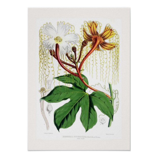 Hodgsonia heteroclita male poster