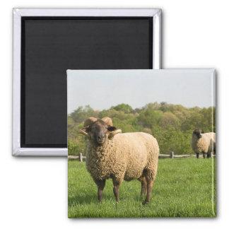 Hog Island Sheep Square Magnet