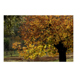 Hojas doradas del castaño en otoño en la sierra poster