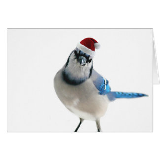 Holiday Blue Jay Card