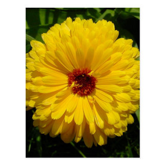 Holligold Blossoming Yellow Pot Marigold Flower Post Cards