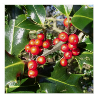 Holly Berries On Holly Tree Perfect Poster