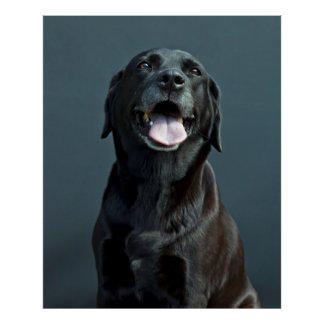 Holly the black Labrador Poster