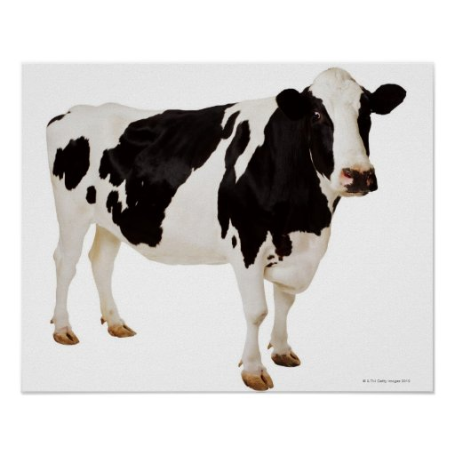 Holstein cow (Bos taurus) Posters