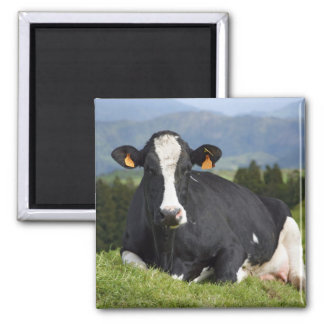 Holstein cow square magnet