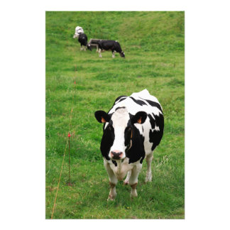 Holstein cow photographic print