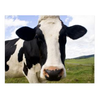 Holstein Cow Postcard