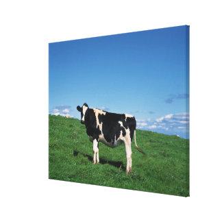 Holstein cow standing in field, Bekkai-Machi, Canvas Print