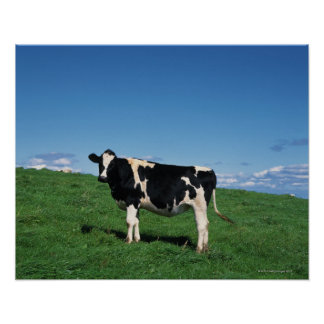 Holstein cow standing in field, Bekkai-Machi, Poster