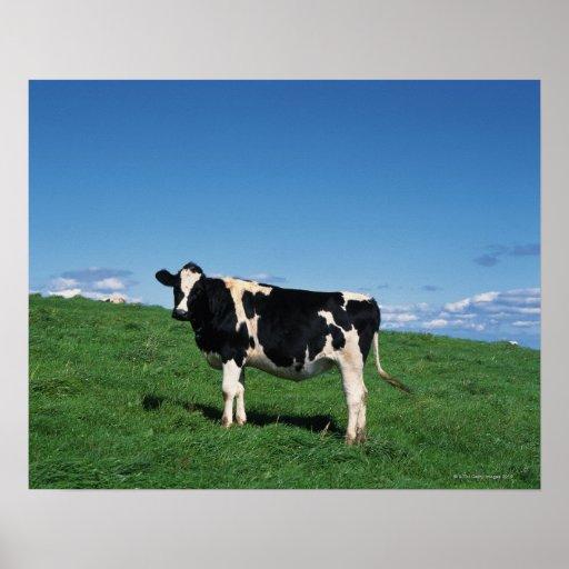 Holstein cow standing in field, Bekkai-Machi, Poster