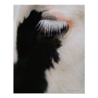 Holstein cow's face, close-up of eye poster