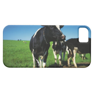 Holstein cows in a field iPhone 5 covers