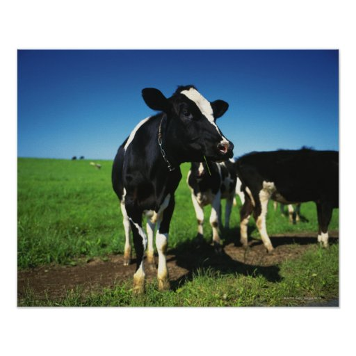 Holstein cows in a field posters
