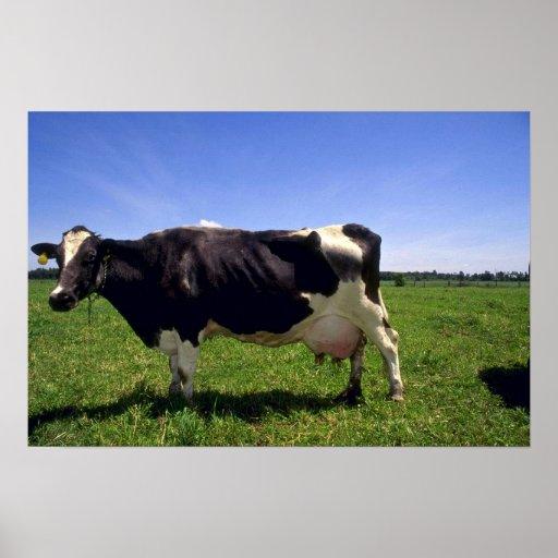 Holstein Dairy Cattle Print