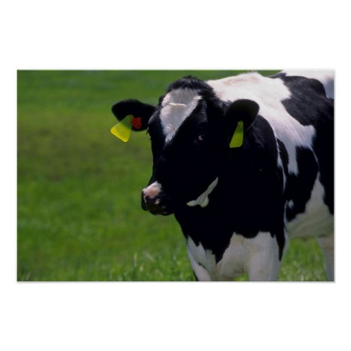Holstein Dairy Cattle Posters