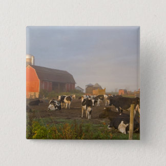 Holstein dairy cows outside a barn at sunrise 15 cm square badge