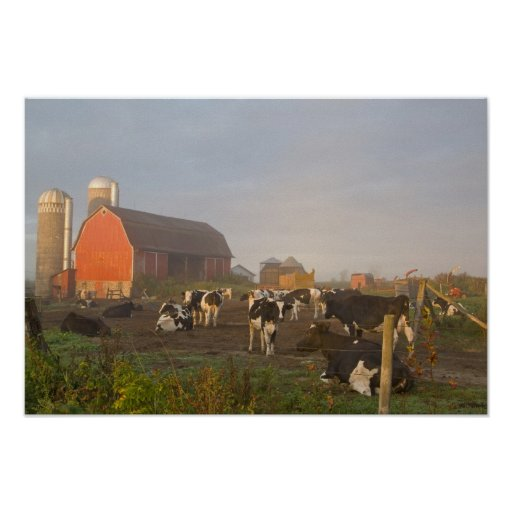 Holstein dairy cows outside a barn at sunrise posters