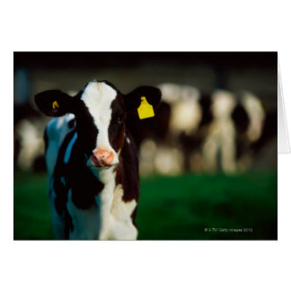 Holstein-Friesian calf Card