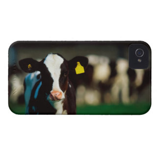 Holstein-Friesian calf iPhone 4 Cover