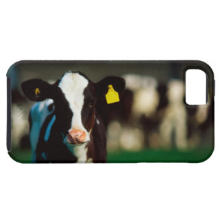 Holstein-Friesian calf iPhone 5 Covers