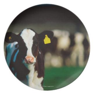 Holstein-Friesian calf Plate