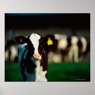 Holstein-Friesian calf Poster