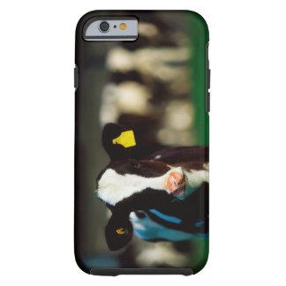 Holstein-Friesian calf Tough iPhone 6 Case