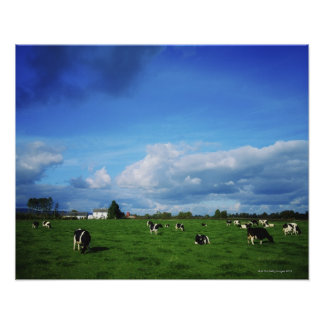 Holstein-Friesian Cattle near Thurles, Co Poster