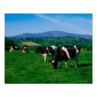 Holstein-Friesian cows near Borris, County Poster