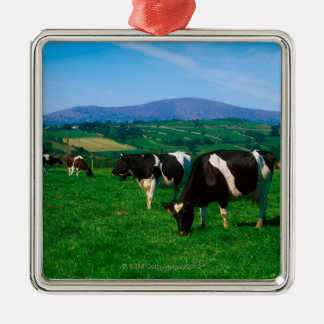 Holstein-Friesian cows near Borris, County Silver-Colored Square Decoration