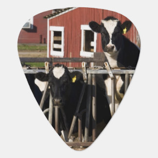 Holsteins at Boggy Meadow Farm in Walpole, New Guitar Pick