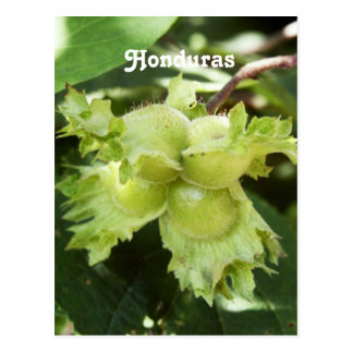 Honduras Hazelnuts Postcard