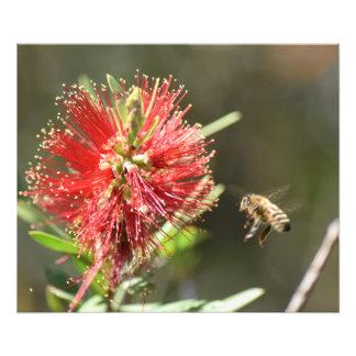 HONEY BEE & BOTTLE BRUSH FLOWER IN RURAL AUSTRALIA PHOTOGRAPHIC PRINT