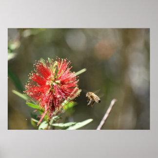 HONEY BEE & BOTTLEBRUSH FLOWER RURAL AUSTRALIA POSTER