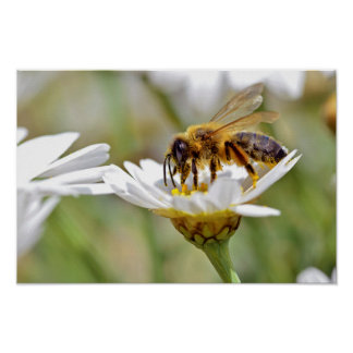 Honey bee feeding on anthemis flower poster