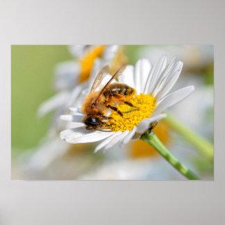 Honey bee feeding on anthemis flower poster