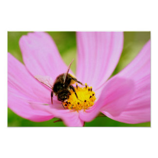 Honey bee feeding on cosmos flower poster