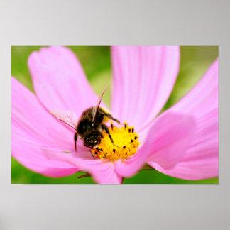 Honey bee feeding on cosmos flower poster