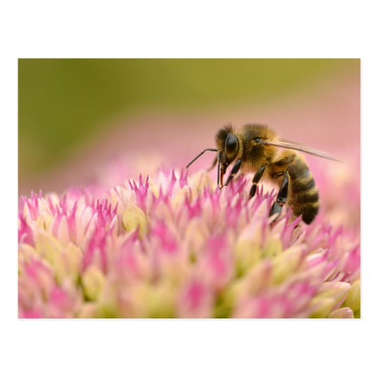 Honey bee feeding on sedum flower postcard
