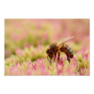 Honey bee feeding on sedum flower poster