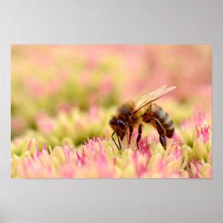Honey bee feeding on sedum flower poster