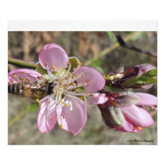 HONEY BEE IN APPLE BLOSSOM PHOTOGRAPHIC PRINT