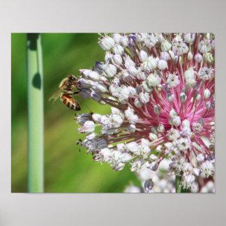 Honey Bee on Allium Flowers Wall Art Poster