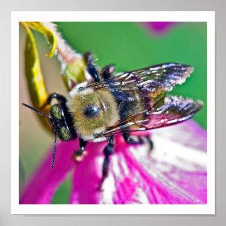 Honey Bee on an Azalea Poster