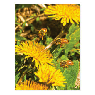 Honey Bees Flying Around Dandelions Postcard